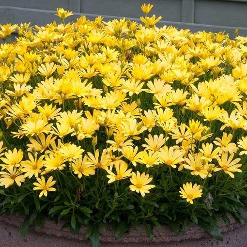 Osteospermum Voltage Yellow