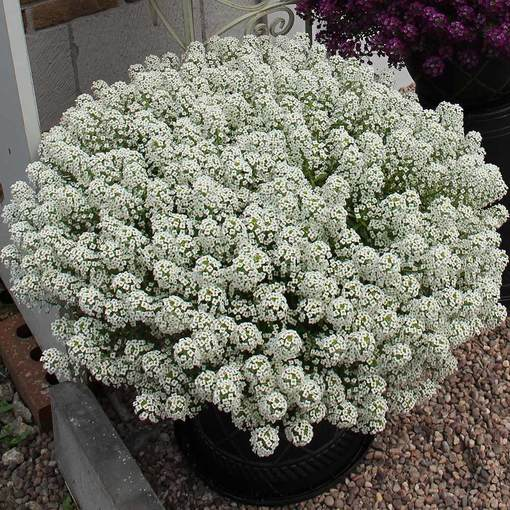 Lobularia Awesome White