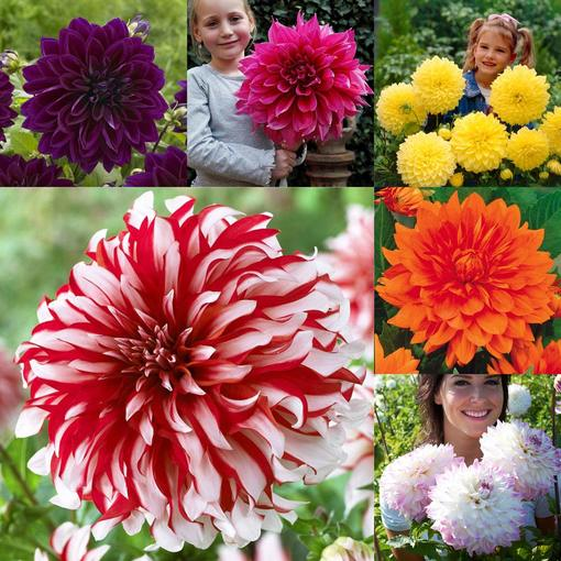 Dahlia Giant Dinner Plate Collection