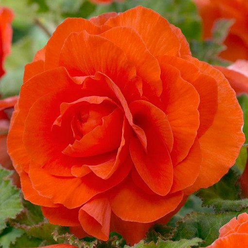 Begonia Double Orange 3/4cm