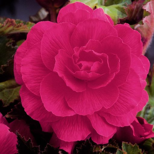 Begonia Double Pink 4cm+
