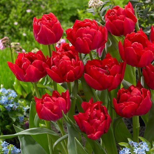 Tulip First Price