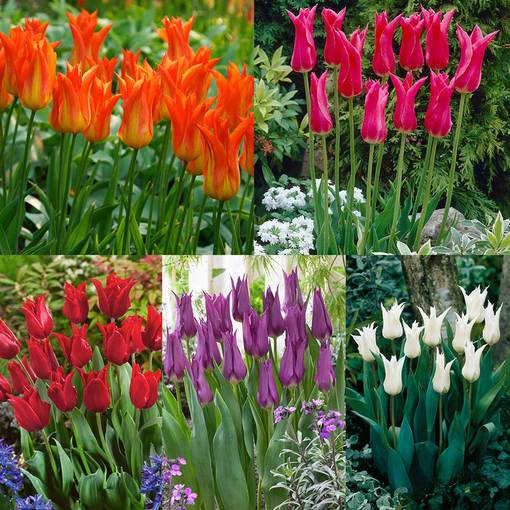 Tulip Champagne Collection (Lily Flowering)