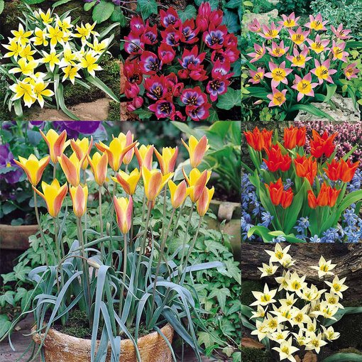 Tulip Species Collection