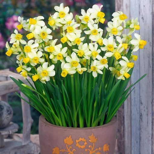 Narcissi Spring Sunshine