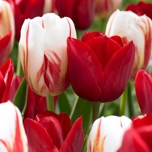 Tulip Carnival Collection