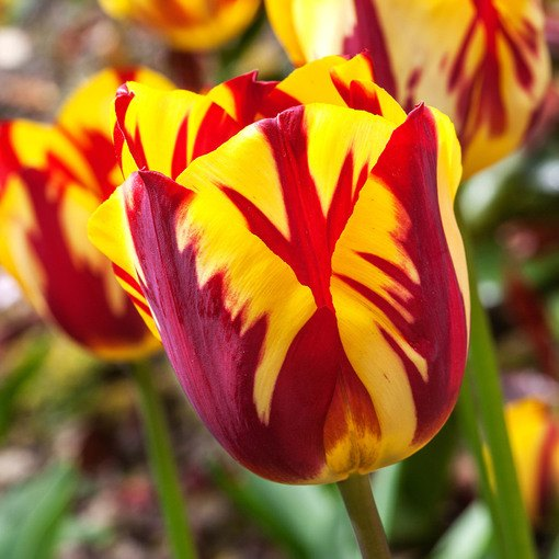 Tulip Flaming Sun