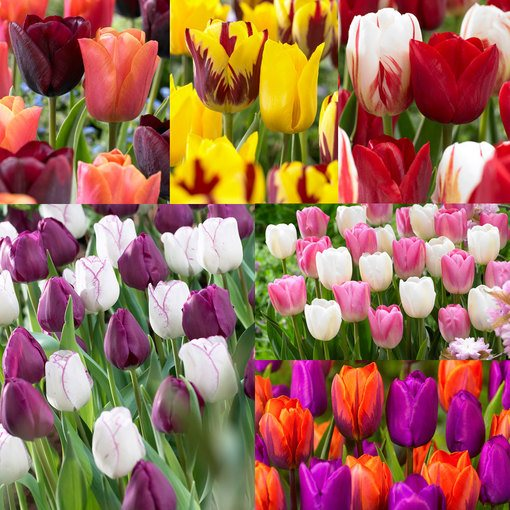 Tulip Companion Collection