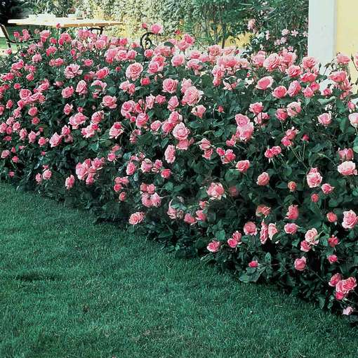 Rose Queen Elizabeth Hedging