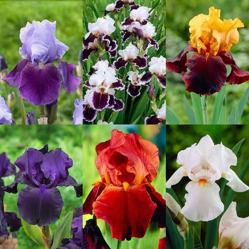 Iris germancia Collection (Bearded Iris)