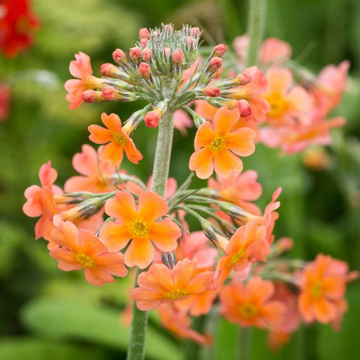 Primula Candelabra Bulleyana Orange