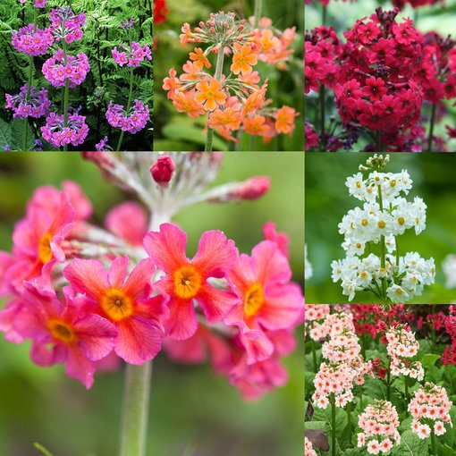 Primula Candelabra Collection (5cm module)