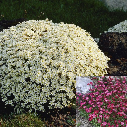 Saxifraga arendsii Blutenteppich Collection