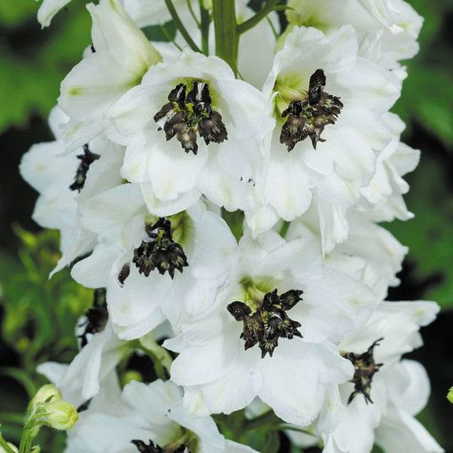 Delphinium Magic White