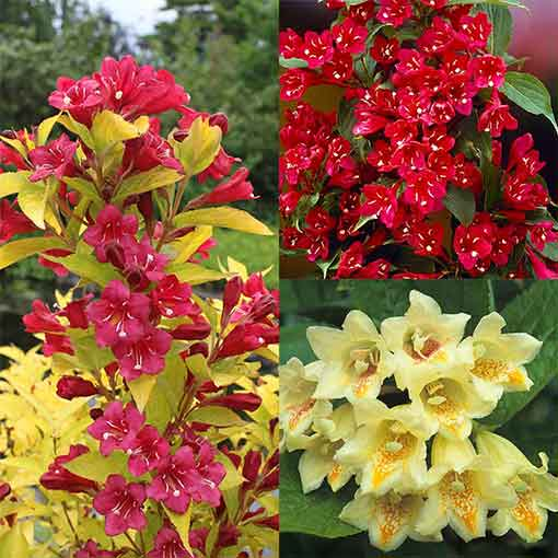 Weigela Unusual Collection