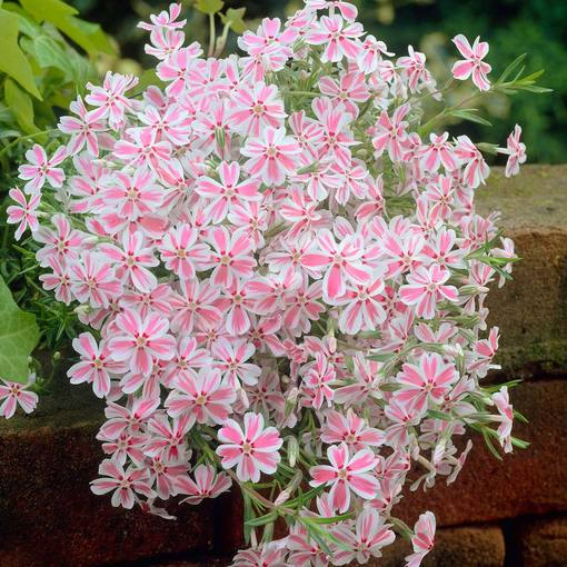Phlox subulata Candy Stripe