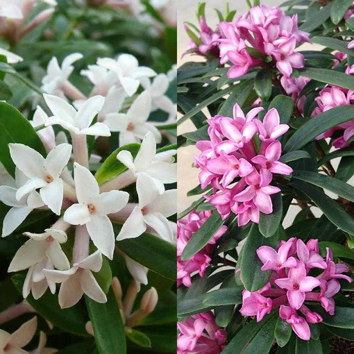 Daphne Fragrant Collection