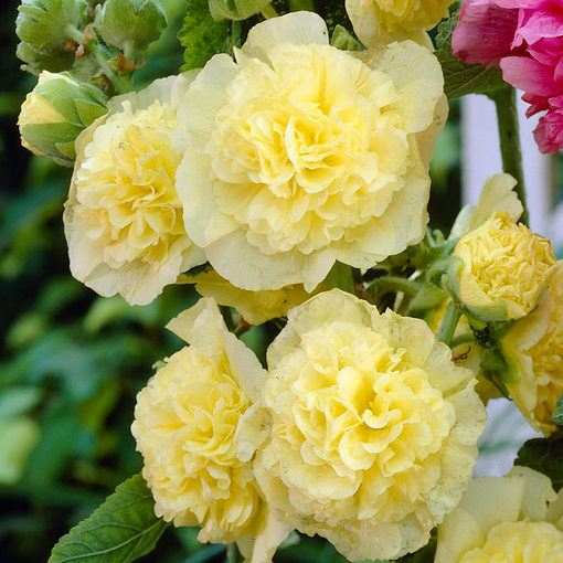 Double Hollyhocks Yellow (Alcea)