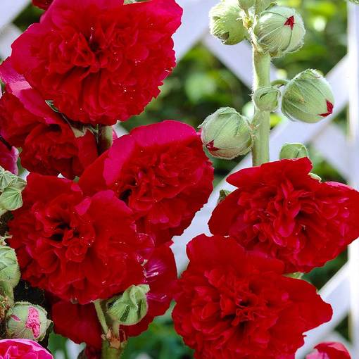 Double Hollyhocks Red (Alcea)