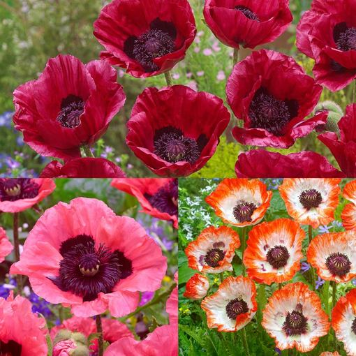 Papaver Collection (Oriental Poppies)