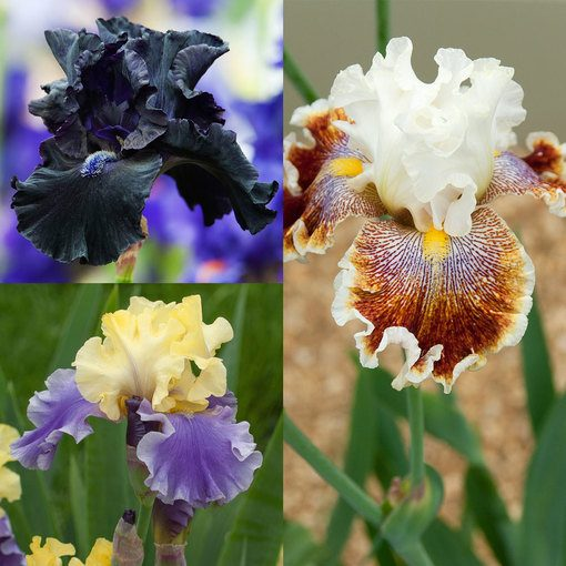 Iris Germanica Unusual Collection