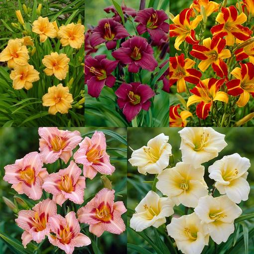 Hemerocallis Collection