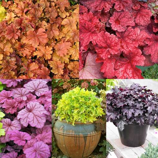 Heuchera Luxury Collection