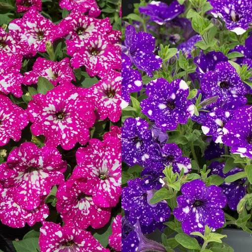 Petunia Speckled Collection