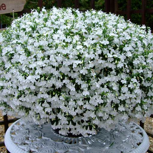 Lobelia California White