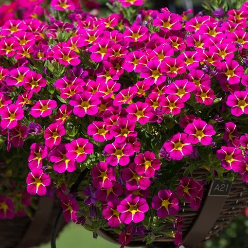 Calibrachoa Starlight Pink