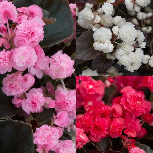 Begonia semperflorens Doublet Mixed
