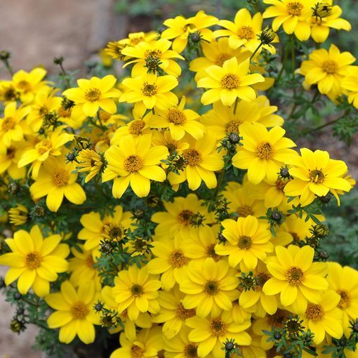 Bidens Bee Yellow Crown