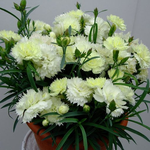 Dianthus Patio Devine Lemon
