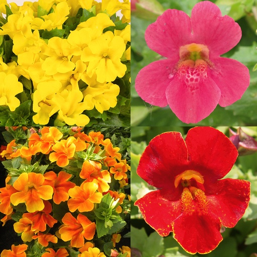 Mimulus hybridus Torelus Collection