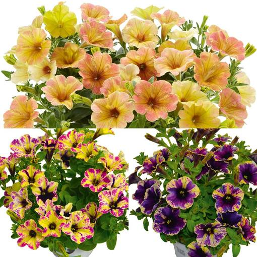 Petunia Chameletunia Collection