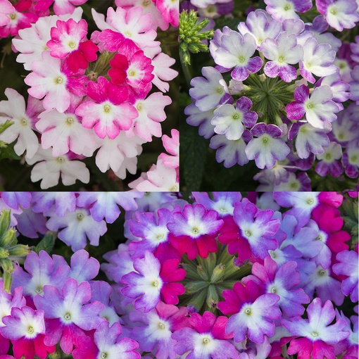 Verbena Sparkle Collection