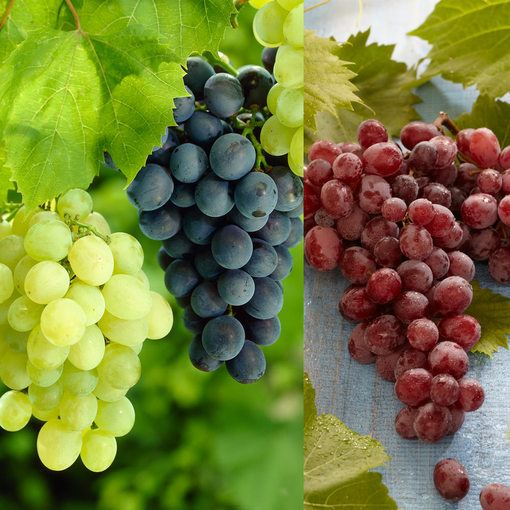 Vitis Collection (Seedless Grapes)