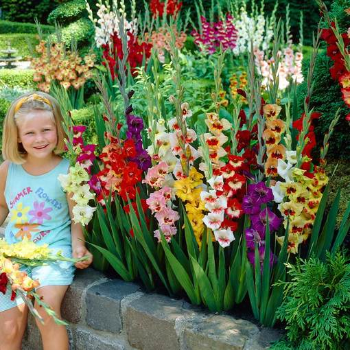 Free Gladioli Butterfly Mixed