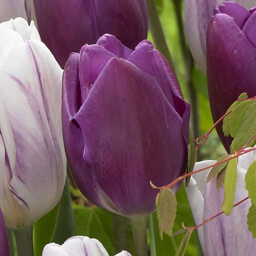 Tulip Purple Flag
