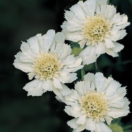 Scabiosa Fama White (Power-Module)