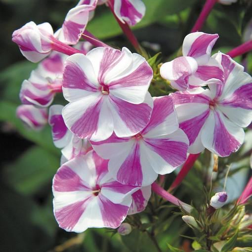 Phlox Adessa Purple Star (Power-Module)