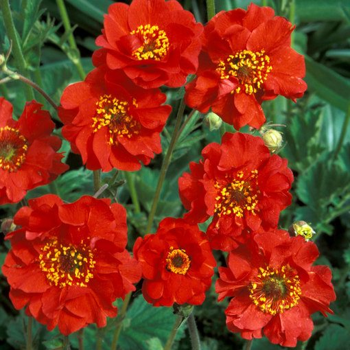 Geum Mrs Bradshaw (Power-Module)