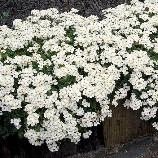 Arabis Little Treasure White
