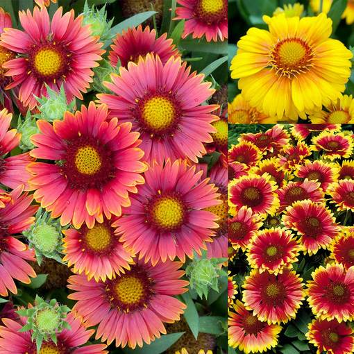 Gaillardia Arizona Collection (Power-Module)