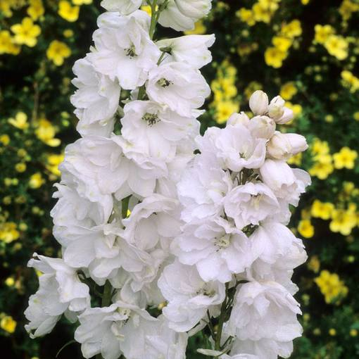 Pacific Giant Delphiniums Galahad (Power-Module)