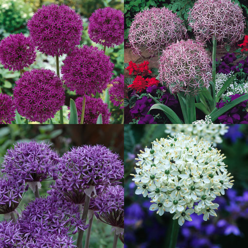 Allium - Designer Collection