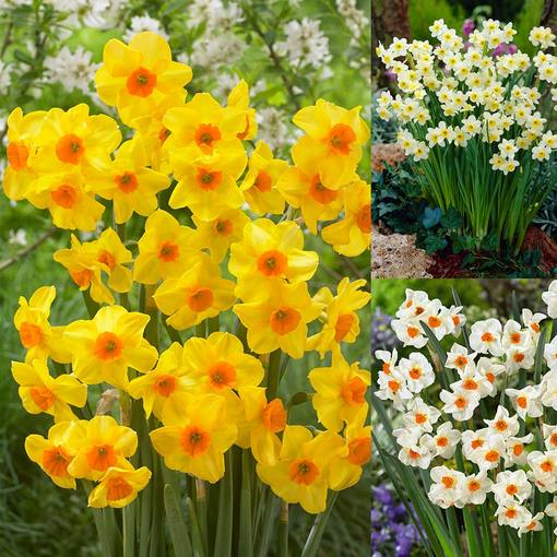 Narcissi Tazetta Collection