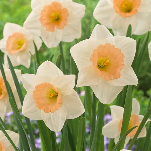 Narcissi Peaches and Cream