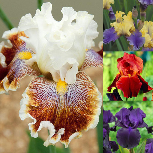 Iris Rare and Unusual Collection