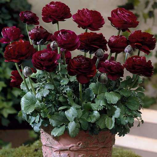 Ranunculus Tomer Deep Purple